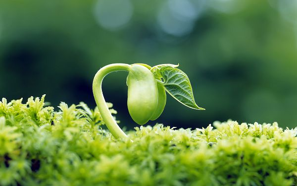 Fresh Beans Incredibly New and Green, Striking Quite an Impression, Feeling the Power of Life - Fresh Plant HD Wallpaper