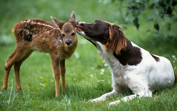 click to free download the wallpaper--Friendship Between Animals, Dog Licking Fawn, Rarely-Seen Moment
