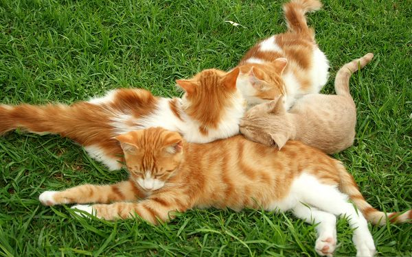 click to free download the wallpaper--Friendship Between Cats, Four Cats Lying on Grass, Close to Each Other