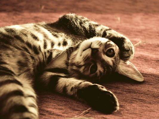 click to free download the wallpaper--Funny Cat Image, Kitten Lying on Floor, Long Stretched Body