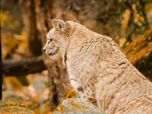 click to free download the wallpaper--Funny Cat Image, Large Bobcat Looking Forehead, Great Pose