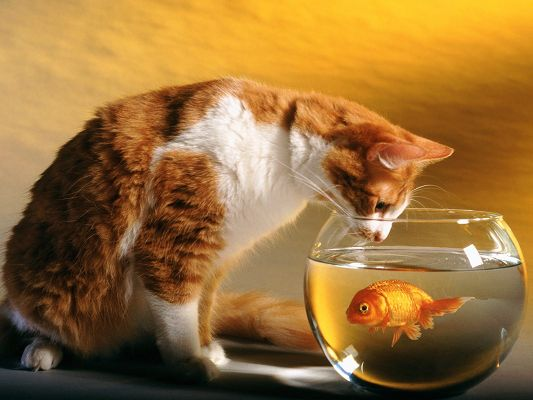 click to free download the wallpaper--Funny Cat Photo, Focusing on the Fish in Tank, When Can I Eat You Up?