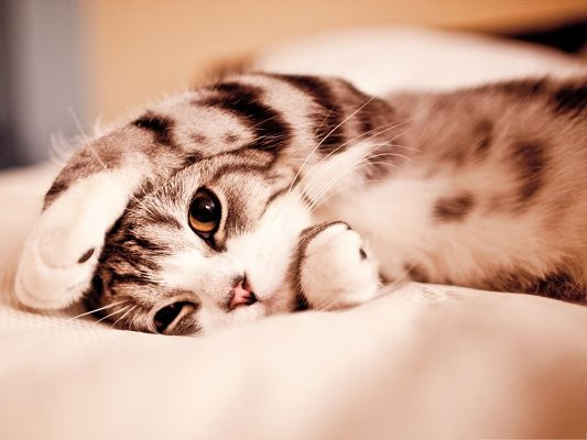 click to free download the wallpaper--Funny Cat Picture, Lazy Kitten Lying on Bed, Can't be Cutier