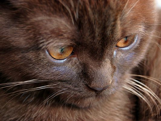 click to free download the wallpaper--Funny Cats Picture, Chocolate Kitten, Gloomy Eyesight