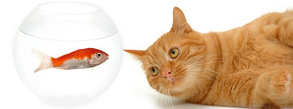 click to free download the wallpaper--Funny Cats Picture, Kitten Looking Attentively at the Fish, Want to Eat It Up?