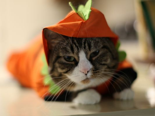 click to free download the wallpaper--Funny Cats Picture, Kitten on Halloween's Day, Orange Clothes