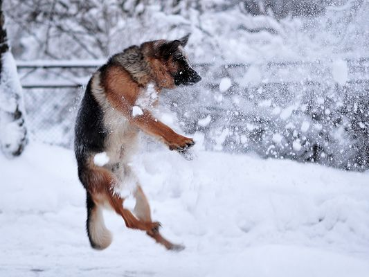 click to free download the wallpaper--Funny Dogs Picture, German Shepherd Plying in the Snow, Oh Shit, Got Hit Once Again!