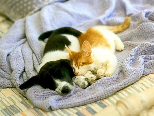 click to free download the wallpaper--Funny Kitten and Puppy, Cat and Dog Sleeping Together?