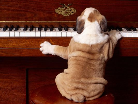 Funny Sharpei, Puppy Playing Piano, It is Quite a Player