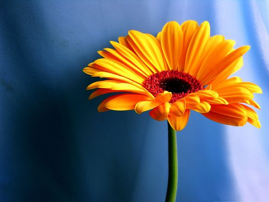 click to free download the wallpaper--Gerbera Daisies Flower, Orange Flower on Light Blue Background
