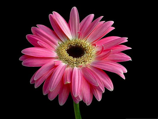 click to free download the wallpaper--Gerbera Daisies Flowers, Lonely Pink Flower in Bloom, Unique Beauty