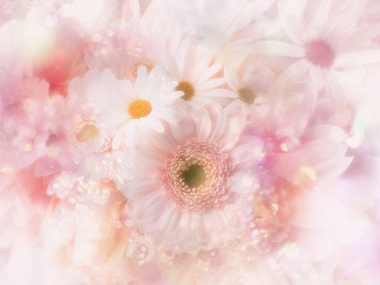 click to free download the wallpaper--Gerbera Daisies Flowers, Nice-Looking Flowers in Bloom, Fully-Stretched Petals