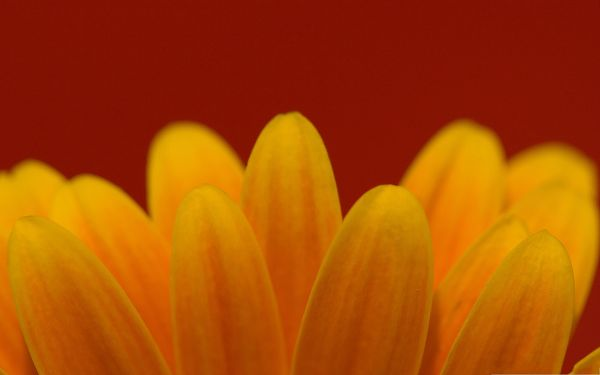 Gerbera Daisies Flowers, Yellow Flower on Red Background, Looking Great