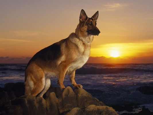 click to free download the wallpaper--German Shepherd Picture