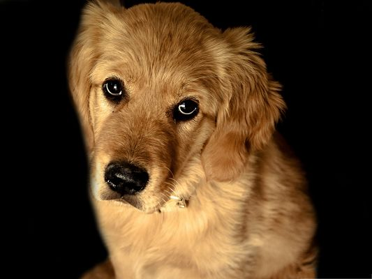 click to free download the wallpaper--Golden Retriever Dog, Poor Look, You Can Promise It Anything
