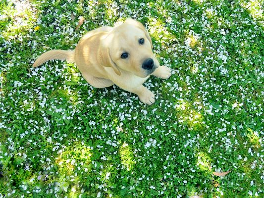 click to free download the wallpaper--Golden Retriever Image, Little Puppy Outdoor, Great Spring Scene