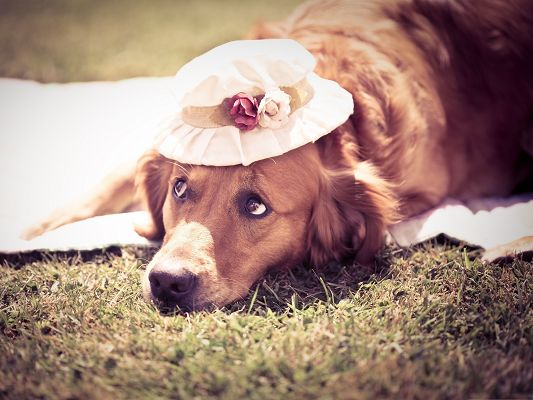 Golden Retriever Image, Lying on Green Grass, Hat to Protect It from Strong Sunlight