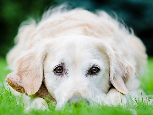 click to free download the wallpaper--Golden Retriever Picture, White and Gentle Puppy, Deserves of a Second Look