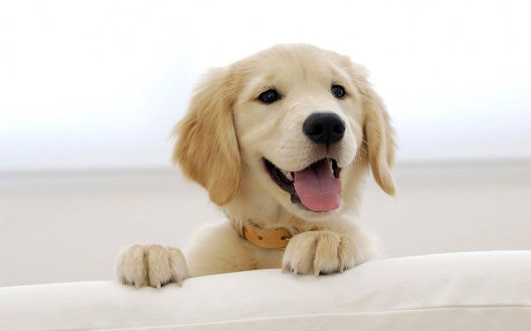click to free download the wallpaper--Golden Retriever Puppy Image