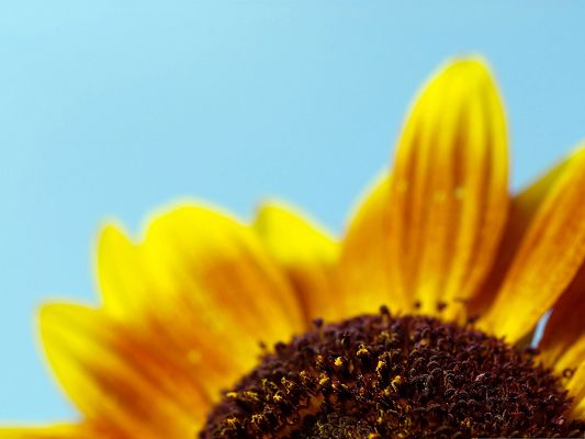 click to free download the wallpaper--Golden Sunflowers Image, Beautiful and Long Petals Under the Blue Sky