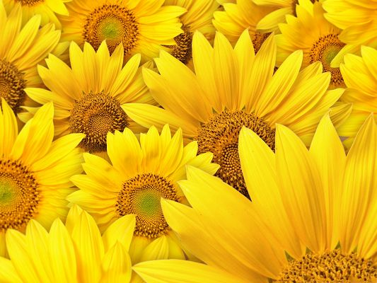 click to free download the wallpaper--Golden Sunflowers Pic, Blooming Flowers Piled Up, Nice and Impressive Look