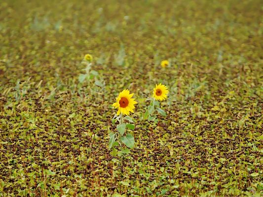 click to free download the wallpaper--Golden Sunflowers Picture, Beautiful Sunflowers Field, Incredible Field