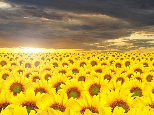 click to free download the wallpaper--Golden Sunflowers Picture, a Full Eye of Yellow Flowers, Golden Horizon