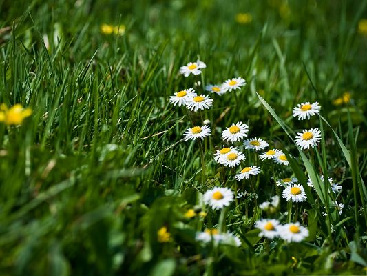 click to free download the wallpaper--Grass And Flowers, White Blooming Flowers Among Green Grass, Amazing Scene
