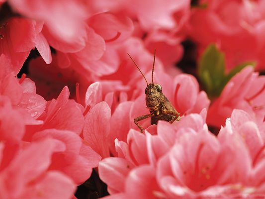 click to free download the wallpaper--Grasshopper among Flowers, Brown Insect Among Pink Flowers, Combine Incredible Scene