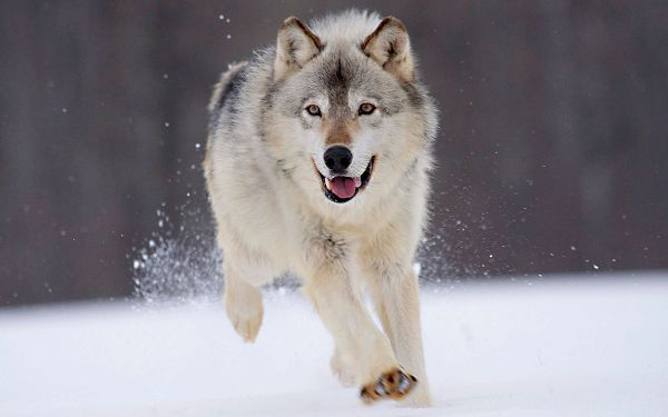 click to free download the wallpaper--Gray Wolf Minnesota HD Post in 1920x1200 Pixel, He is Running and Looking Quite Composing, He Shall be a Great Fit - HD Natural Scenery Wallpaper