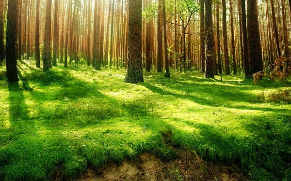 click to free download the wallpaper---Green Grass and Tall Trees Combined, Sunlight Broke Through, What a Beautiful and Attractive Forest - HD Natural Scenery Wallpaper