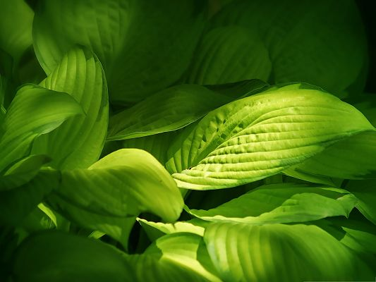 click to free download the wallpaper--Green Leaves Picture, a Full Eye of Green Leaves, Sunlight on One of Them