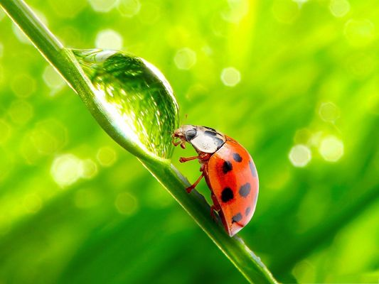 click to free download the wallpaper--Green Nature Landscape, Ladybug Approaching Water Drop, Have a Taste!