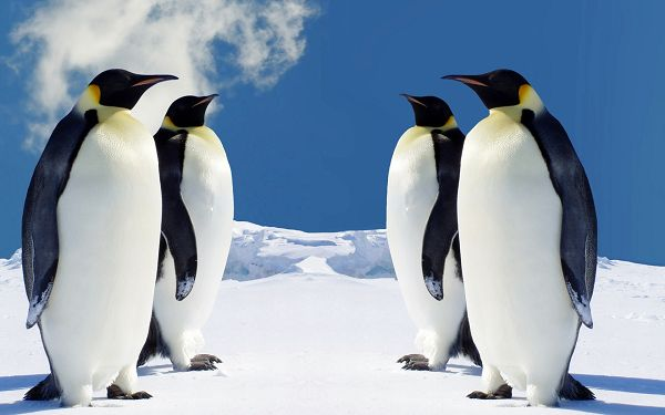 HQ Penguins HD Post in Pixel of 1920x1200, All Guys Standing in Snow, the Sky is Quite Blue, Hope You Come Up with the Right Decision - HD Natural Scenery Wallpaper