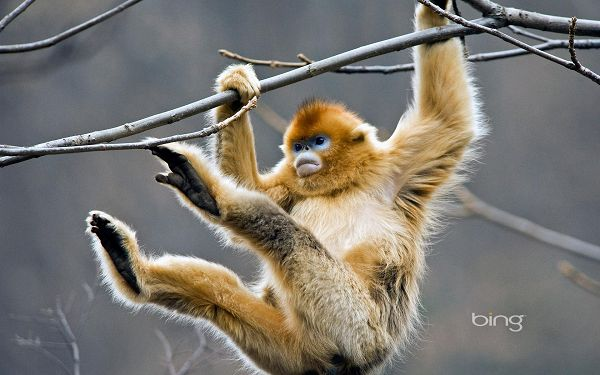 click to free download the wallpaper---Hanging All His Weight on the Branch, It is Easy to March Forward, He is Muscular and Determined - HD Cute Animals Wallpaper