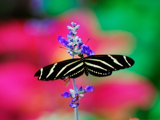 click to free download the wallpaper--High Quality Animals Wallpaper, Striped Butterfly on Blooming Flower, Like Great Lovers