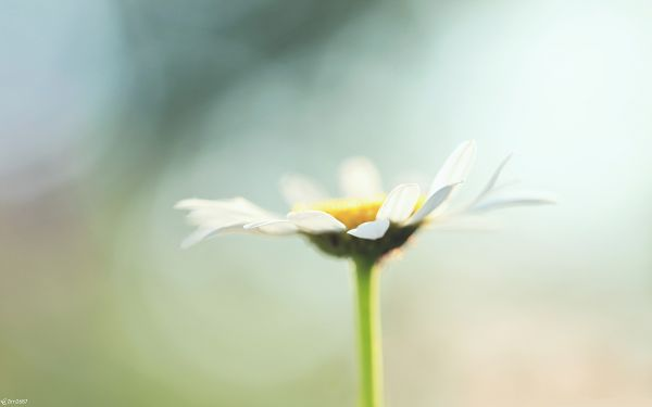 click to free download the wallpaper--High Quality Computer Wallpapers, White Chamomile in Bloom, Lonely and Tough
