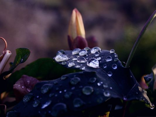 High Quality Free Wallpaper, Wet Dark Leaf Under Macro Focus, Crystal Clear Waterdrops
