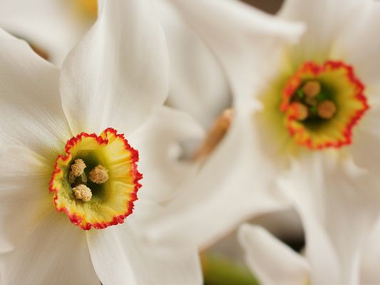 click to free download the wallpaper--High Quality Free Wallpaper, White Daffodil Under Macro Focus, Bloom in Beauty