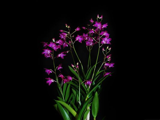click to free download the wallpaper--High Resolution Wallpapers, Purple Dendrobium Berry on Dark Background