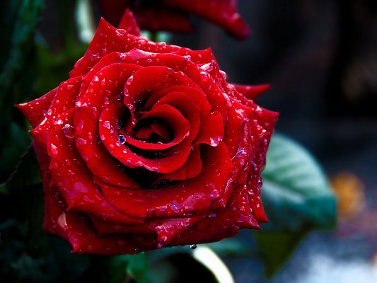 click to free download the wallpaper--High Resolution Wallpapers, Red Rose on Macro Focus, Rain Drops on the Petal