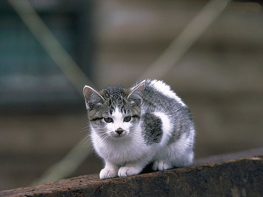click to free download the wallpaper--Home Cat Photos, Gray and White Kitten, on a Black Wall