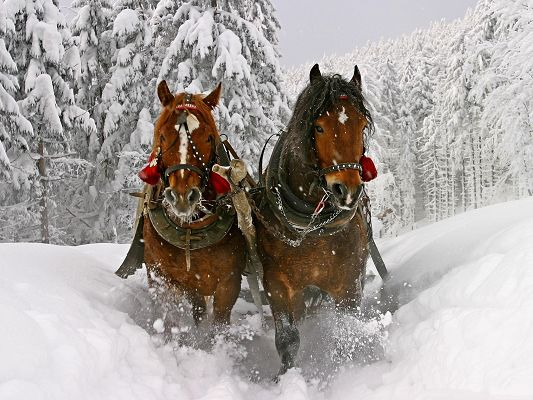 Horses as Background, Two Horses Running in Thick Snow, Winter Scene