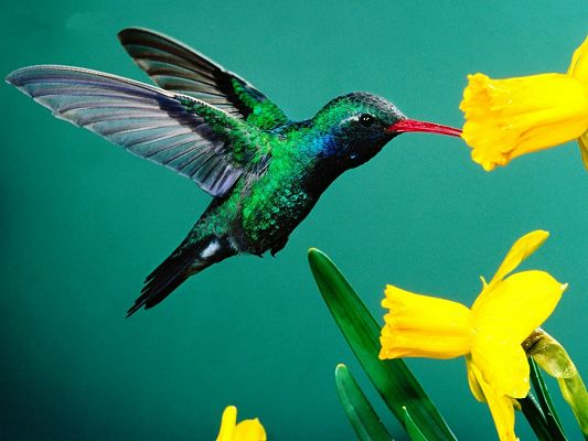 click to free download the wallpaper--Hummingbird Images, Flying Bird Sucking Yellow Flowers, Green Background