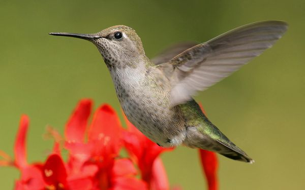 click to free download the wallpaper--Hummingbird Photos, Flying Bird on Red Flowers, Green Background