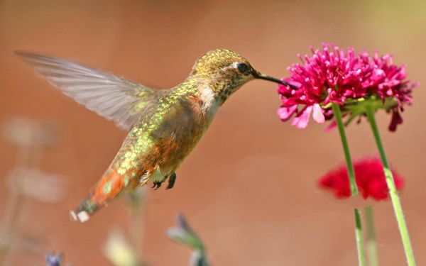 click to free download the wallpaper--Hummingbird Picture, Love Being Close to Flowers, Fly Toward It