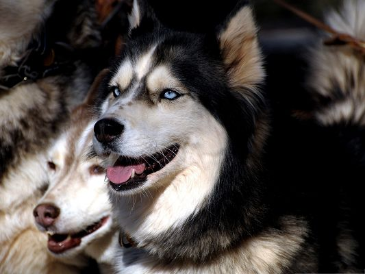 click to free download the wallpaper--Huskie Dogs Image, Puppies Close to Each Other, Hot Summer Day