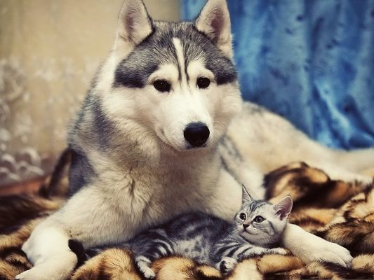 click to free download the wallpaper--Husky Dog Photos, Big Puppy and Little Kitty, Take Care of Each Other