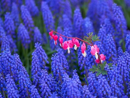 click to free download the wallpaper--Hyacinth and Bleeding Heart Flowers, in Pink and Blue, Combine Quite Well