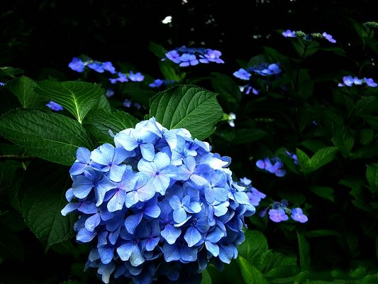 click to free download the wallpaper--Hydrangea Flowers, Blue Flowers and Green Leaves, Combine Incredible Scene